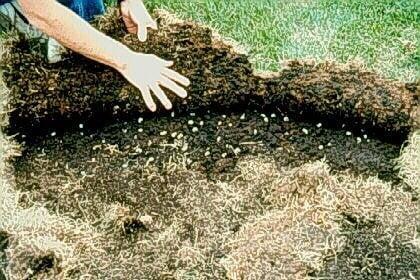 Grub Infestation under sod