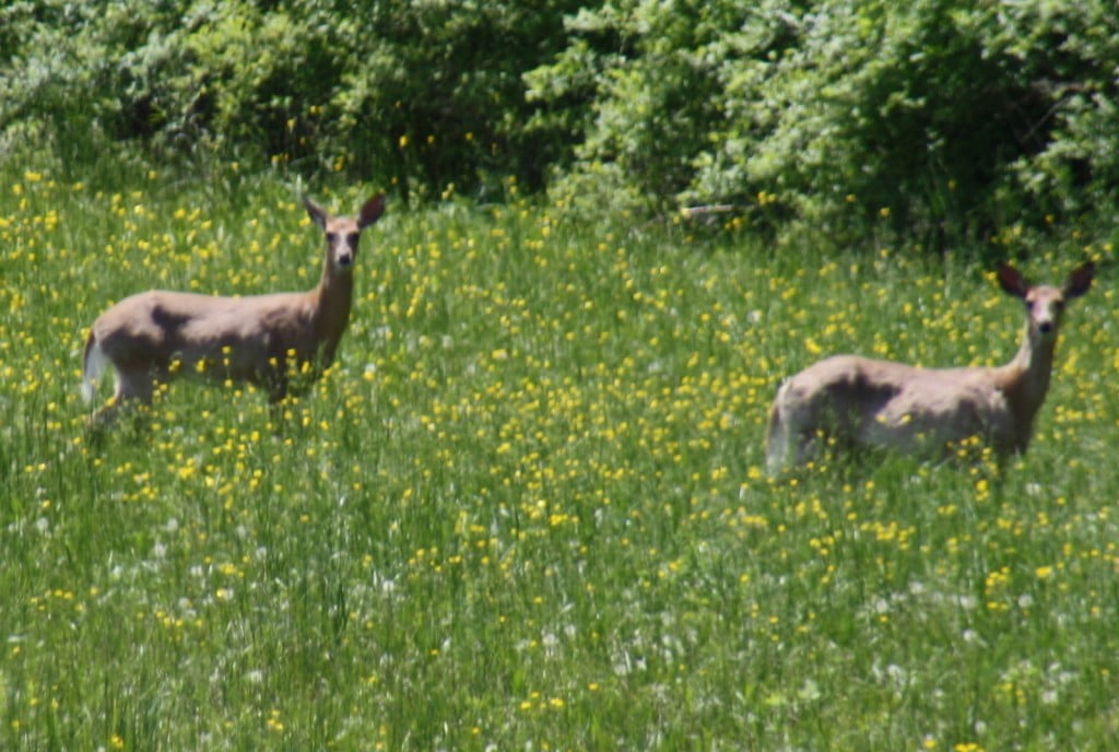 2 staring deer looking pregnant