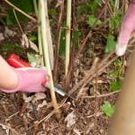 pruning-summer-fruiting-raspberries