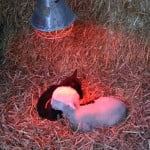 Lambs_under_a_heating_lamp