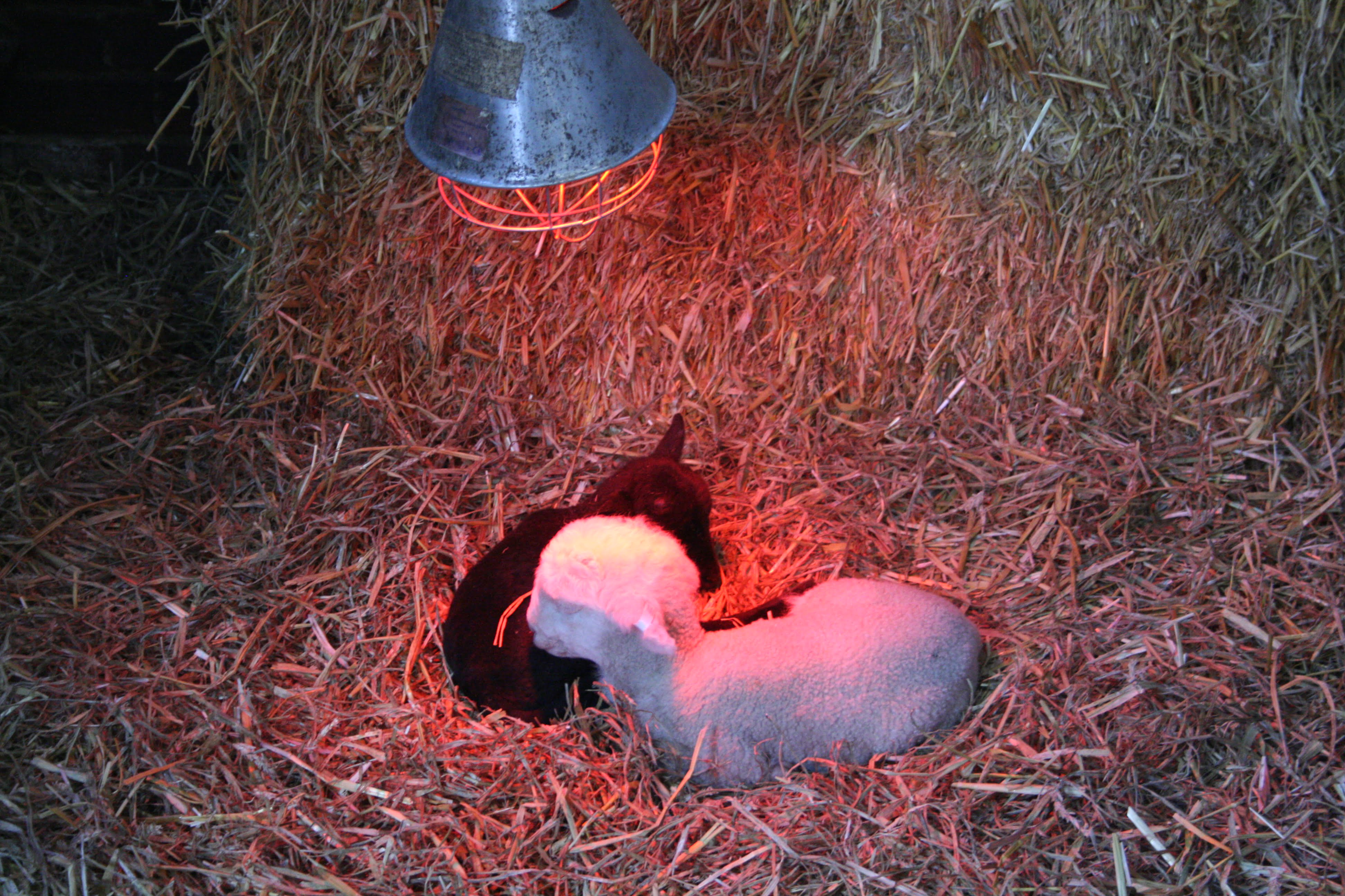 Lamb Survival The First 24 Hours
