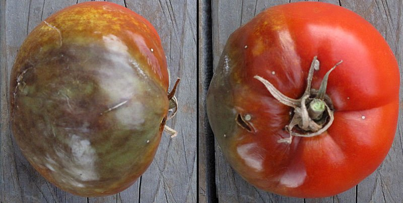 800px-Tomato_with_Phytophthora_infestans_(late_blight)
