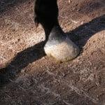 horse hoof-600x450